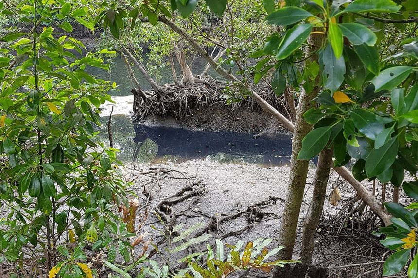 The Agri-Food and Veterinary Authority of Singapore and National Environment Agency said the blackish water found at Sungei Buloh Wetland Reserve in February was likely caused by waste discharge from the rotting of unwanted vegetables at the farms in