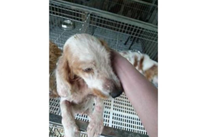 A female Cavalier King Charles Spaniel found in poor health condition.