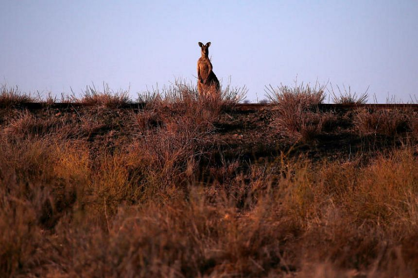 A kangaroo stands on a disused railway line located on the outskirts of Bourke in outback Australia.