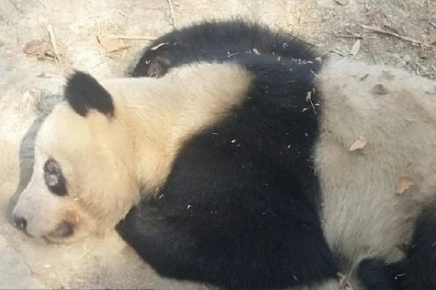 The Chengdu Research Base of Giant Panda Breeding confirmed that some giant pandas recently contracted partial depilation around the eyes.