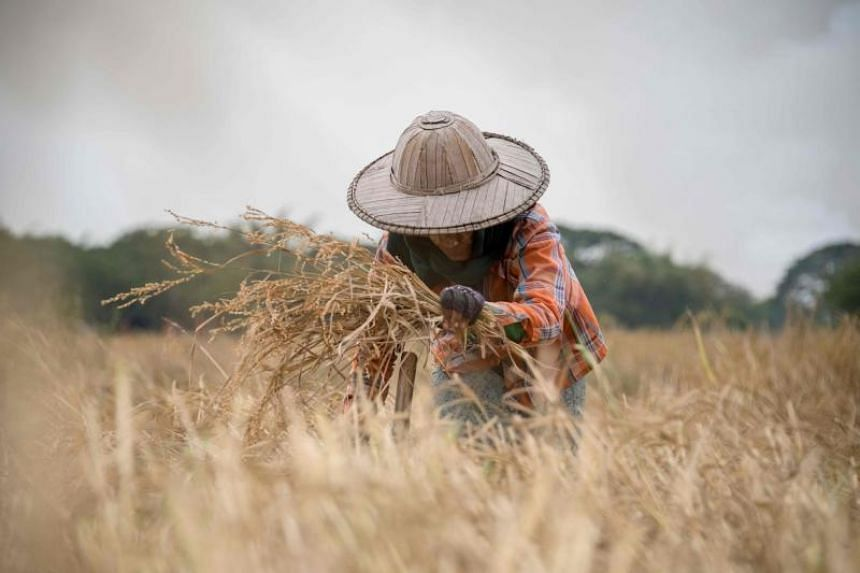 A farmer working in a rice field on the outskirts of Yangon on Dec 27, 2017.