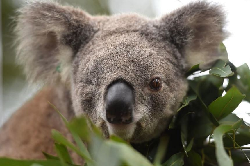 Habitat loss, dog attacks, car strikes, climate change and disease have taken their toll on Australia's koalas.