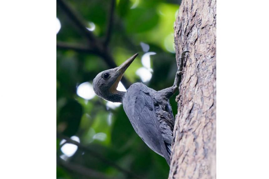 The first record of the great slaty woodpecker on May 2, 2018 near the summit of Bukit Timah Nature Reserve.