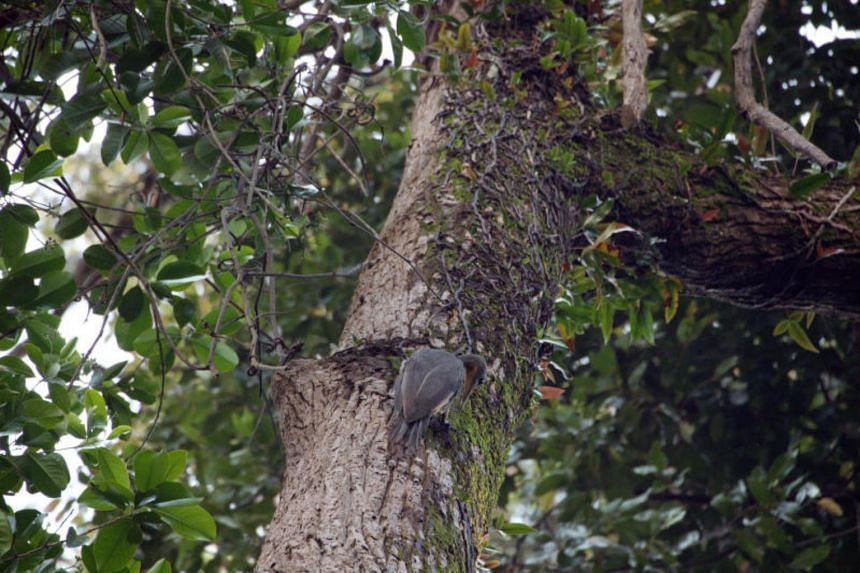 The re-appearance of the great slaty woodpecker has been described by veteran bird-watcher Alan Owyong as the greatest ornithological event in Singapore in the last decade.