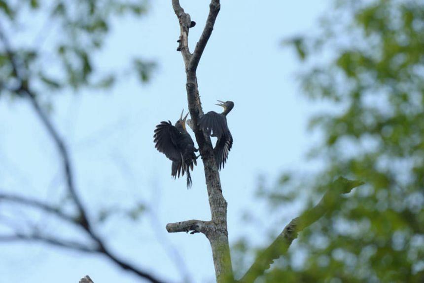 The great slaty woodpecker seen in Tanjung Puting in Johor, Malaysia.