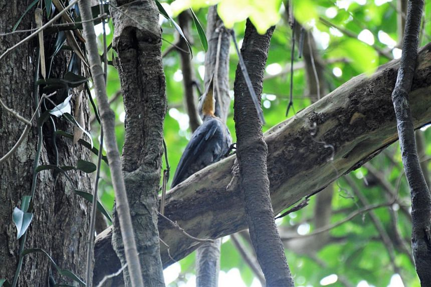 The great slaty woodpecker disappeared from Singapore forests since 1950, along with seven other woodpecker species.