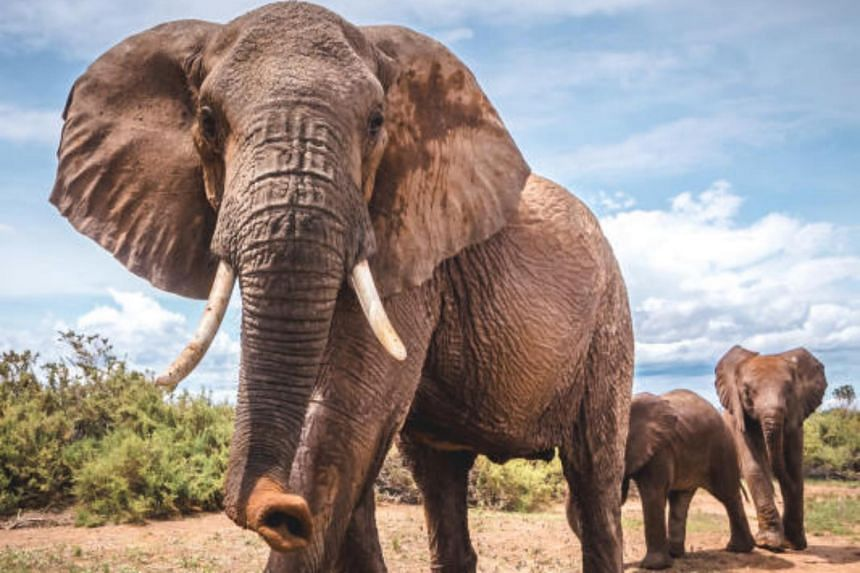 "Researchers have found that an elephant's activities, like walking, running, snorting and grunting, create distinct ""seismic signatures"" in the ground, giving thm a variety of powerful methods for long-distance communication."