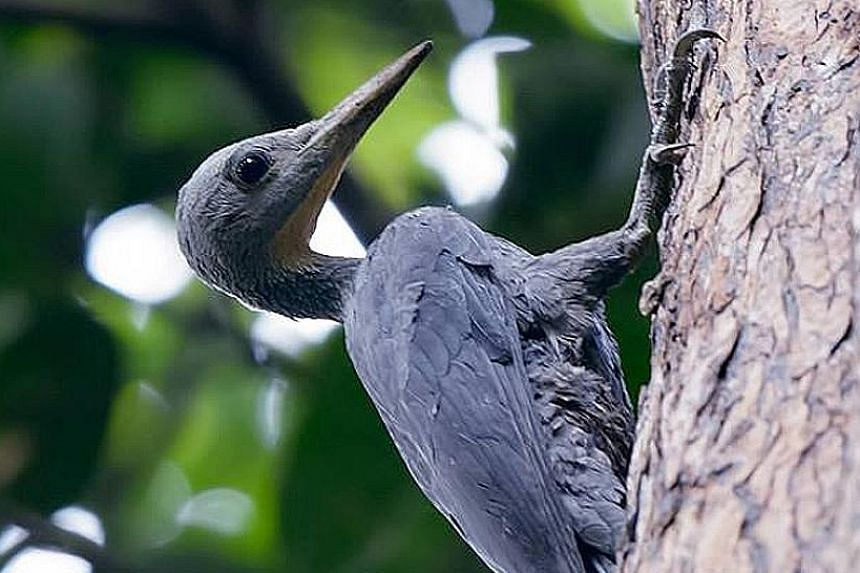 The first recent sighting of the great slaty woodpecker took place last Wednesday, when nature photographer Ted Lee spotted the bird near the summit of Bukit Timah Nature Reserve and took snapshots of it.