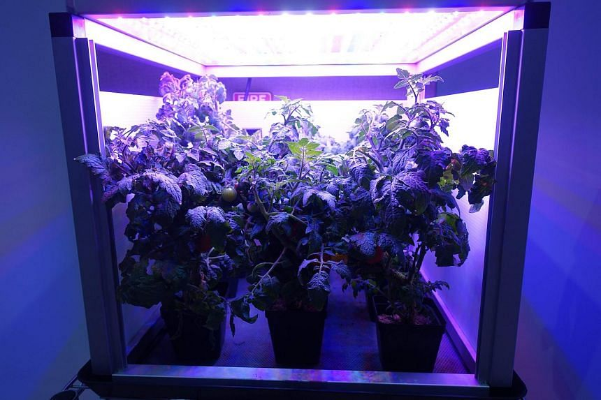 Tomatoes growing in an LED-lighted box, similar to what astronauts use to grow lettuce on the International Space Station, at the Fairchild Tropical Botanic Garden in Miami on April 25, 2018.