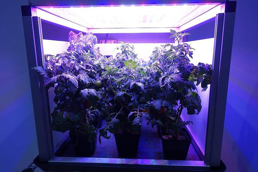 Tomatoes growing in an LED plant box, similar to those used on the ISS, at Fairchild Tropical Botanic Garden in Miami.