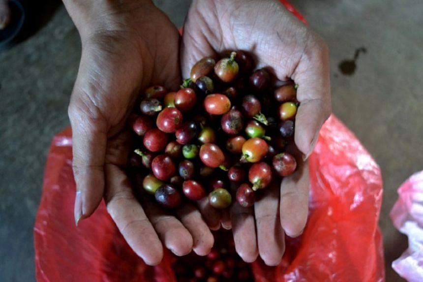 It is important to harvest the coffee cherries when they turned red.