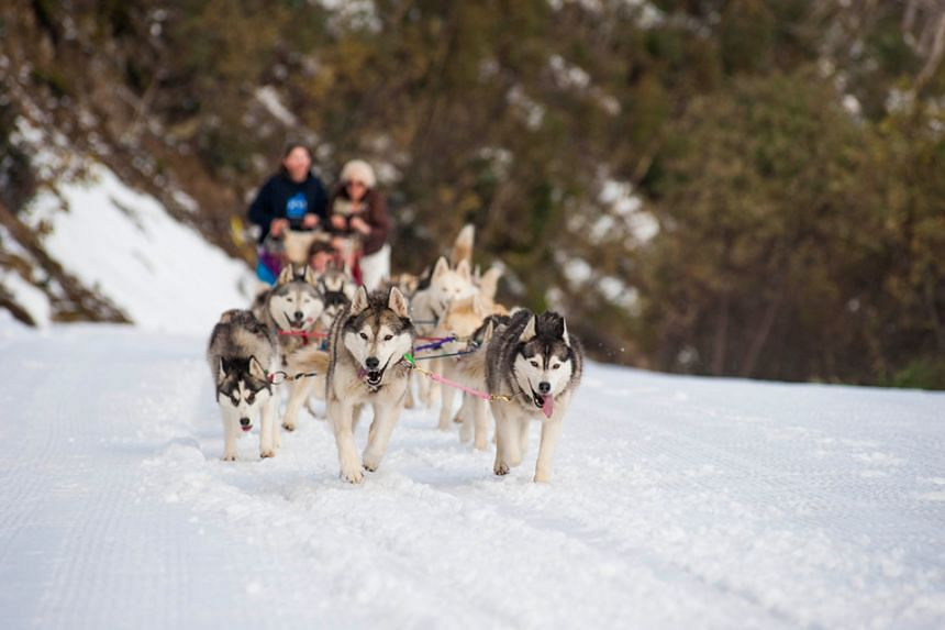 Go on a sled dog tour at Mount Buller. Photo: Visit Victoria