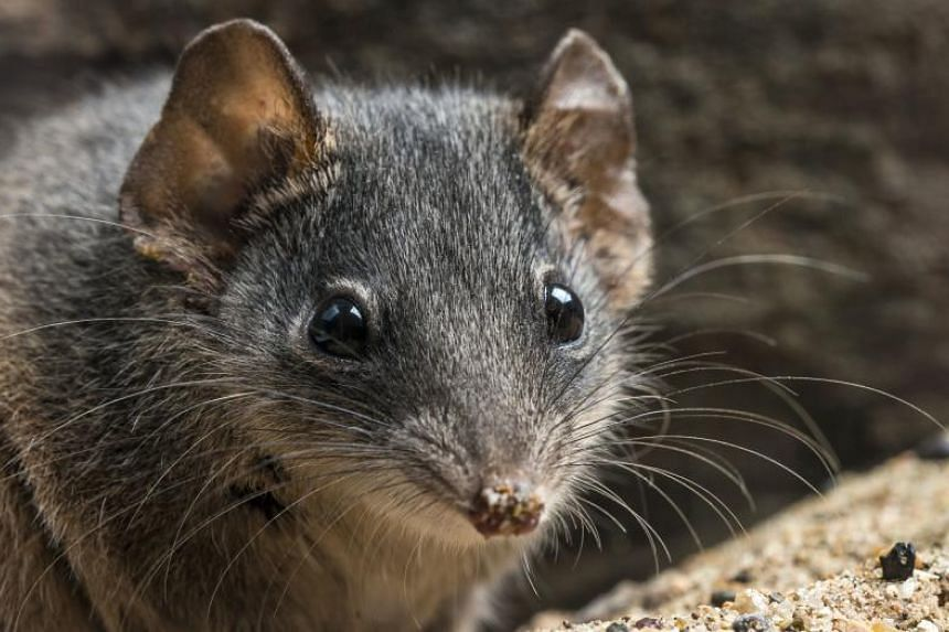 The tiny black-tailed dusky antechinus and silver-headed antechinus (above) are known for suicidal mating habits that include up to 14-hour sex sessions.