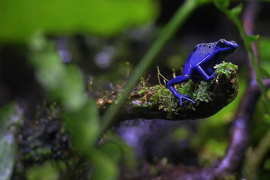 A deadly disease known as chytridiomycosis, caused by the chytrid fungus, is thought to be one of the deadliest on the planet. It infects hundreds of species of amphibians and is thought to have wiped out a third of all frog species. A new study high