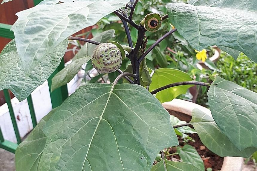Datura stramonium, commonly known as the Devil's Trumpet and Thorn Apple, with reference to the appearance of its flowers and fruit, respectively.