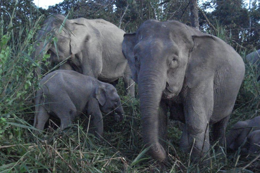Pygmy elephants are threatened by widespread logging of their natural habitat to make way for lucrative palm oil plantations, and are targeted by poachers as their ivory fetches a high price on the black market.