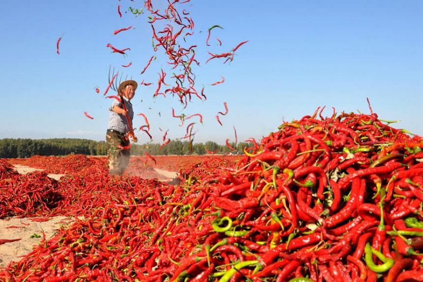 Red chili peppers being spread out to dry.