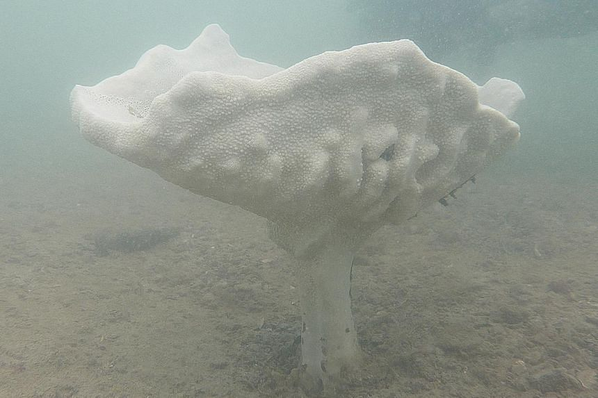 The Neptune's cup sponge was so highly sought after by collectors that it was thought to have gone extinct by the early 1900s, until its rediscovery in Singapore waters in 2011.