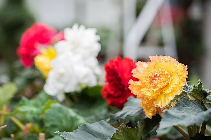 "The Begonia ""Prima Donna Sunburst"" (above, foreground) and Begonia ""Cascade Red"" (left) are among the varieties on display."