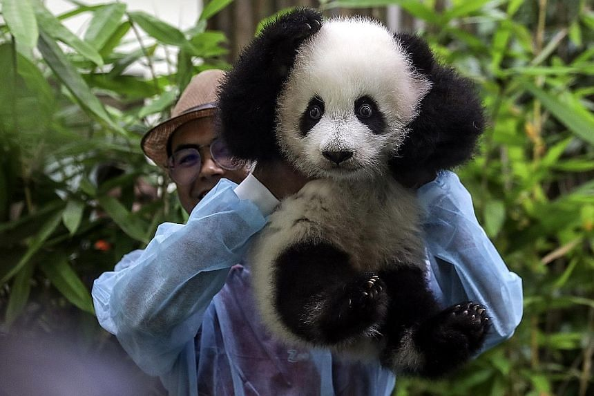 The new arrival shows her face at Malaysia's national zoo yesterday. She is the second cub born to Liang Liang and Xing Xing, a pair of giant pandas on loan from China. The two births are a rare success story for natural reproduction among giant pand
