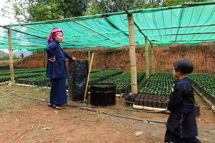 A woman looking after coffee seedlings at a nursery in her village, in Hopong township of Shan state, Myanmar.