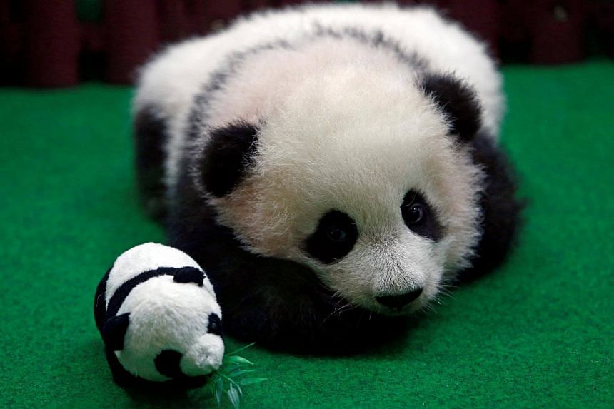 The four-month-old female giant panda cub on display to the public for the first time at the National Zoo in Kuala Lumpur, on May 26, 2018.