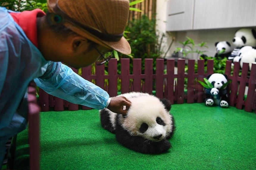 A zoo attendant pats a four-month old female giant panda cub during the cub's unveiling inside the panda enclosure at the National Zoo in Kuala Lumpur, on May 26, 2018.