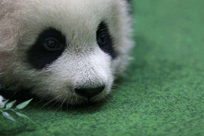 A new baby panda sits on the ground at Malaysia Zoo in Kuala Lumpur, on May 26, 2018.