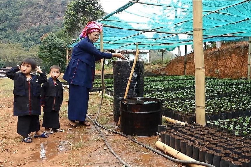 A nursery for coffee seedlings in Hopong, Myanmar's Shan state. The villagers used to grow opium until a UN programme helped them to make the switch to coffee.