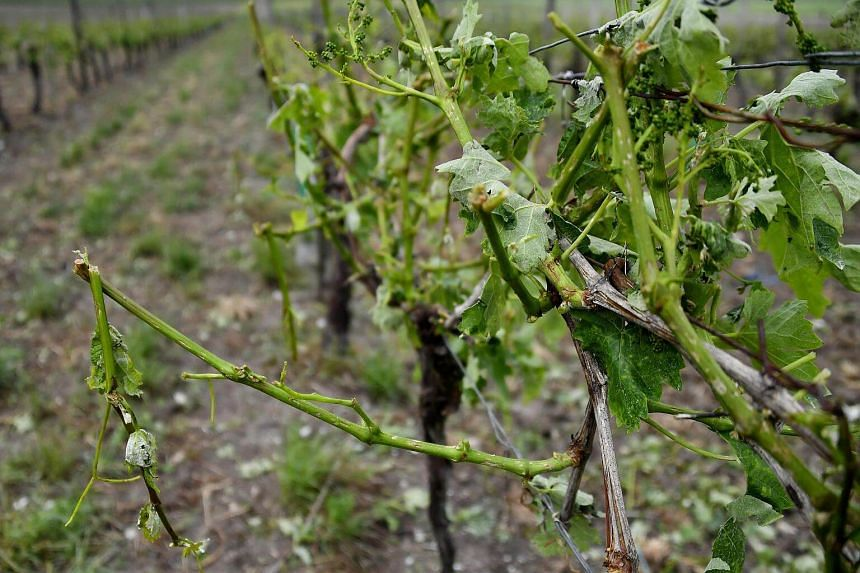 Vines damaged and without leaves in a vineyard in Cognac following a violent storm in the region on May 26, 2018.