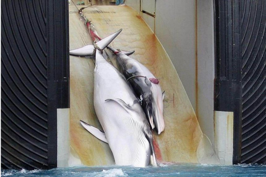 This undated file picture released on Feb 7, 2008, by the Australian Customs Services shows a mother whale and her calf being dragged on board a Japanese ship after being harpooned in Antarctic waters.