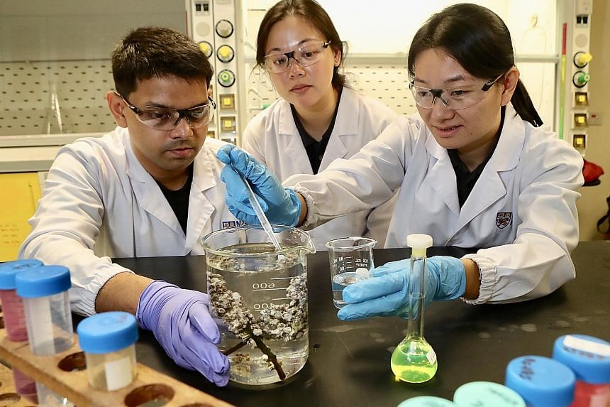 National University of Singapore scientists (from left) Samarth Bhargava, Neo Mei Lin and Serina Lee transferring acorn barnacle larvae into a beaker. The acorn barnacle retained tiny plastics from larvae to adulthood, a span of about seven days, the