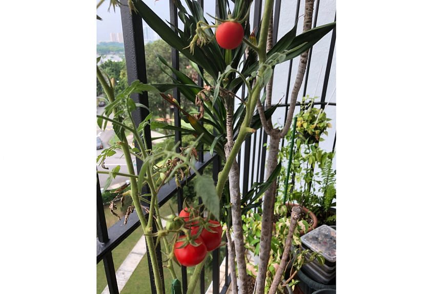 Sow seeds of desert rose in well-drained mix; tomatoes not suited to Singapore climate