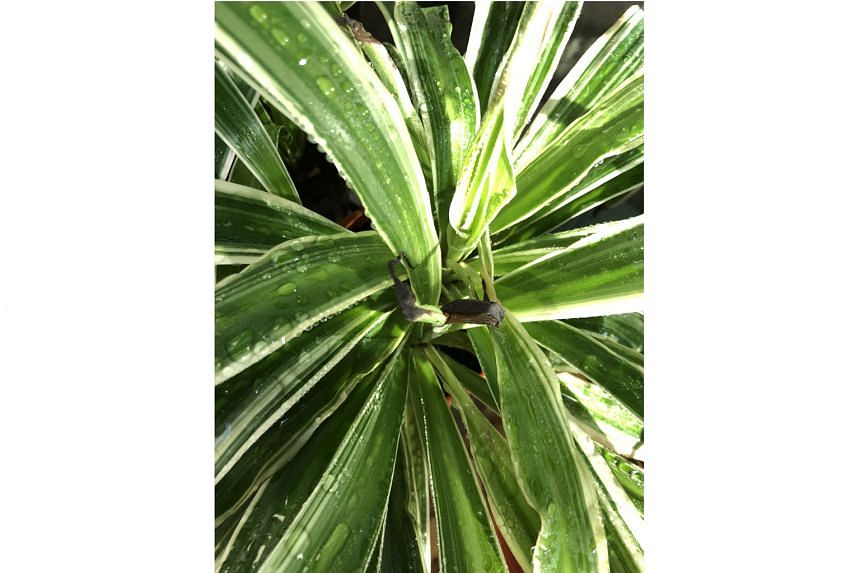 Spider plants need more light