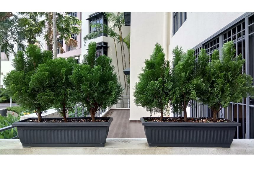 Grow Chinese thuja in containers to manage size