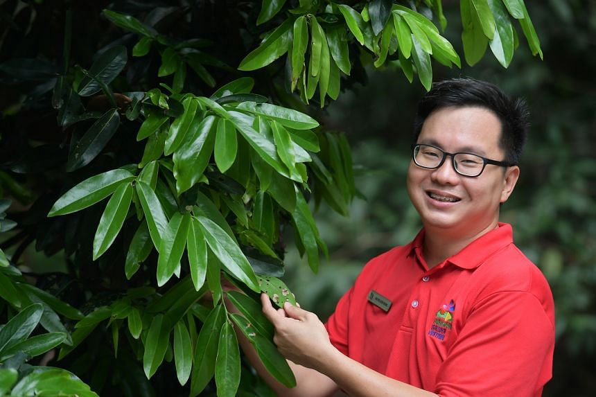 Deputy director of horticulture and a curator of palms, shrubs and ornamental plants at the Singapore Botanic Gardens, Dr Wilson Wong (above) is seen here with bagworms on a plant.