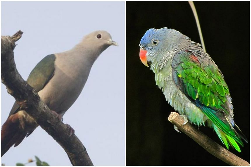 NParks will work on two species-specific studies on the movement patterns of the Green Imperial Pigeon (left) and the Blue-rumped Parrot - both are listed as nationally threatened species.