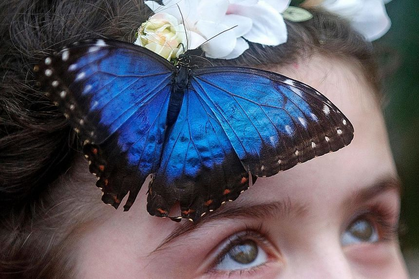 The apterous A gene could be used as a biomarker to study the patterns of colourful butterflies such as the morpho butterfly (left), said Ms Prakash. The African squinting bush brown butterfly (right) is not colourful but it has eyespots. Left: Assoc
