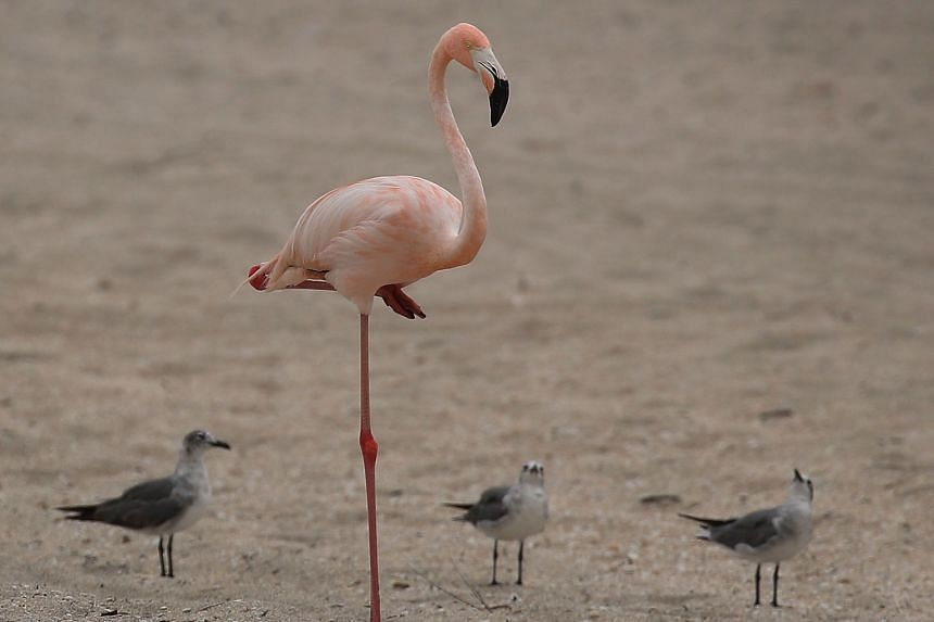 Research on flamingos has found their famous pose looks to be easy to maintain because of adaptations of their joint structure.