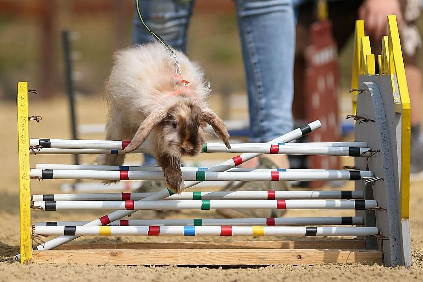 A rabbit jumping over an obstacle during a fringe event at the German Equestrian Championships in Balve, western Germany, yesterday. Rabbit show jumping (also called rabbit agility or rabbit hopping) is modelled after horse show jumping. Competitions