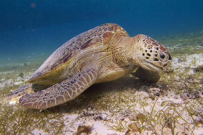 The green sea turtle (left) is one of many marine animals which go down to the seagrass meadows for a graze.