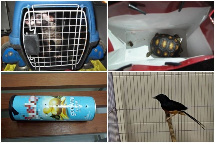 Desiree Lim was fined $3,600 for possessing illegal wildlife, including a civet cat (top left) and a red-foot tortoise (top right), while in a separate case Lim Ke Yi was caught hiding a white-rumped shama in a potato chip tube.