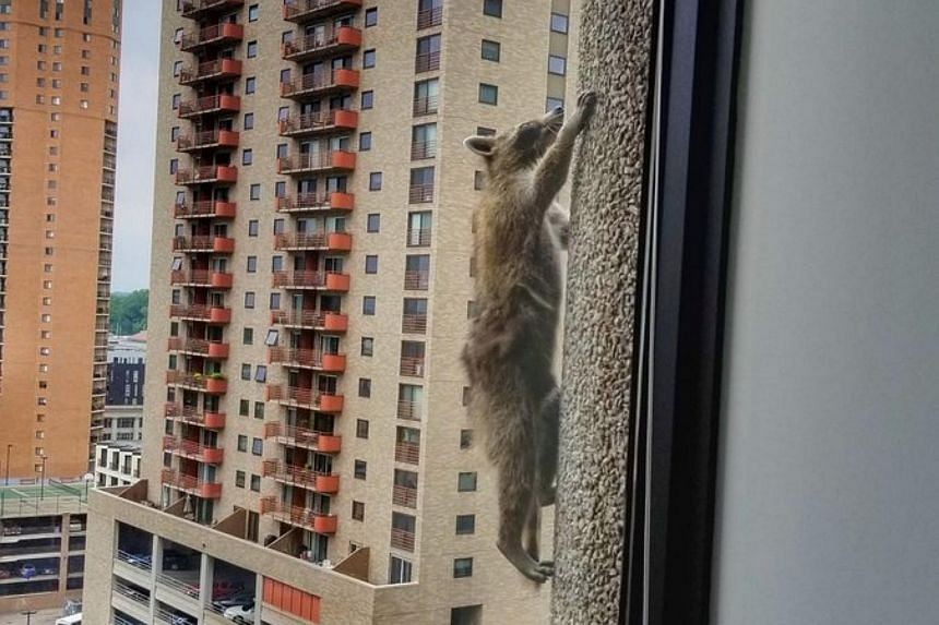 The raccoon was captured scaling a UBS Tower in Minnesota and was later dubbed #MPRraccoon.