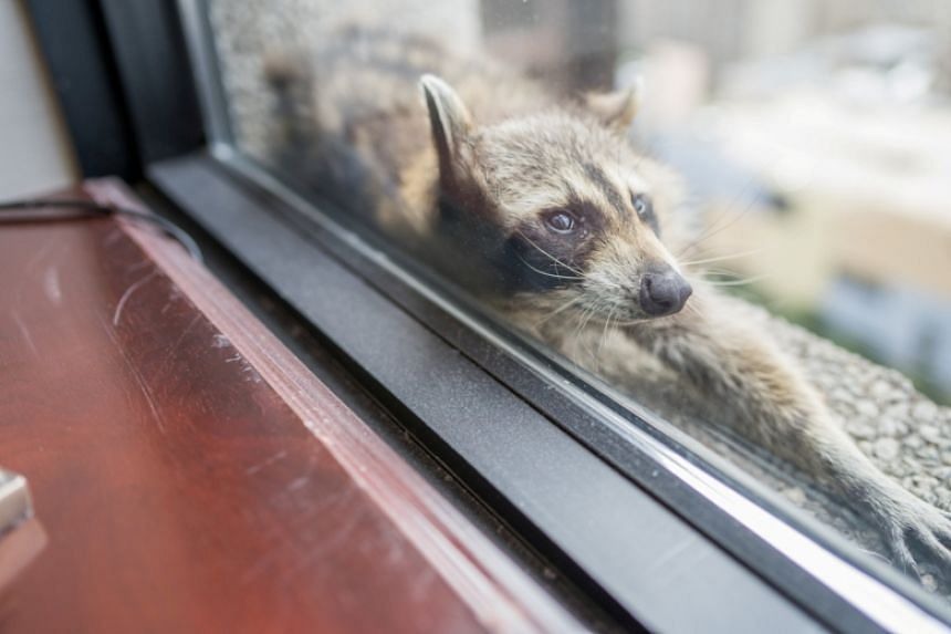 A raccoon stretches out on a window sill high above downtown St. Paul, Minnesota.