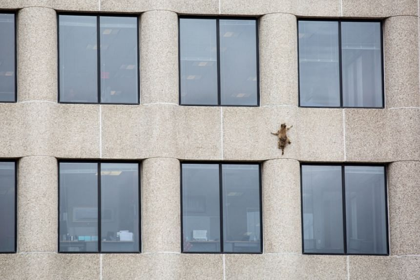 A raccoon scurries up the side of the UBS Plaza building in St. Paul, Minnesota