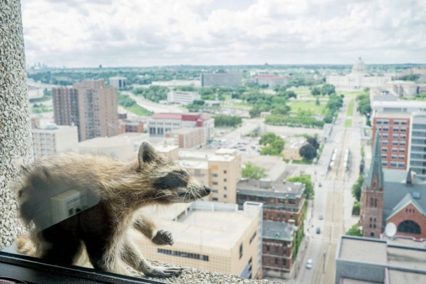 A raccoon scratches itself on the window sill of the Paige Donnelly Law Firm on the 23rd floor of the UBS Plaza building.