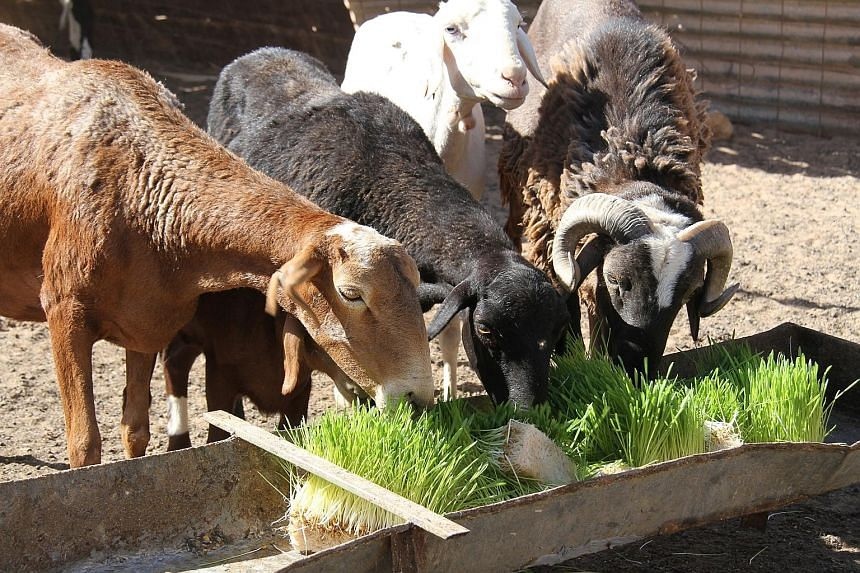 There are currently 50 production units in the refugee camps, and each can yield up to 15kg of fodder daily, which is sufficient for five goats. Using trays of local barley, the Sahrawi families grow plants that, a week later, can be used to feed the