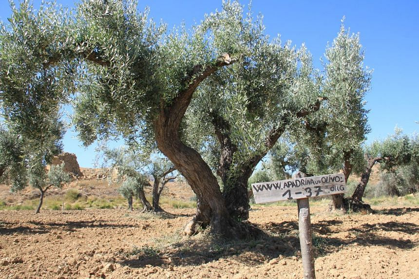"The olive trees of Oliete, a village in Spain, are waiting for ""godparents"" to adopt them."