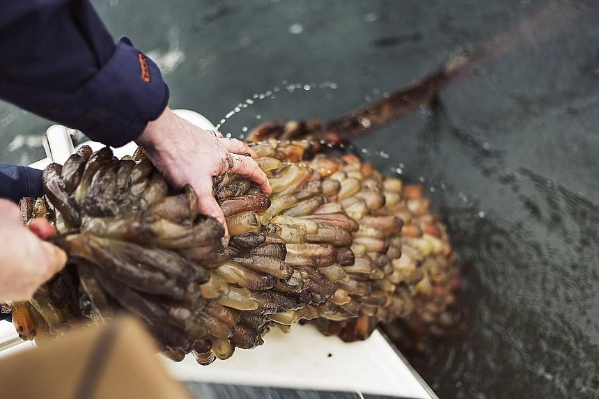 Sea squirts grow fast, at a rate of up to 2cm a month, making them suitable as a source of biofuel.