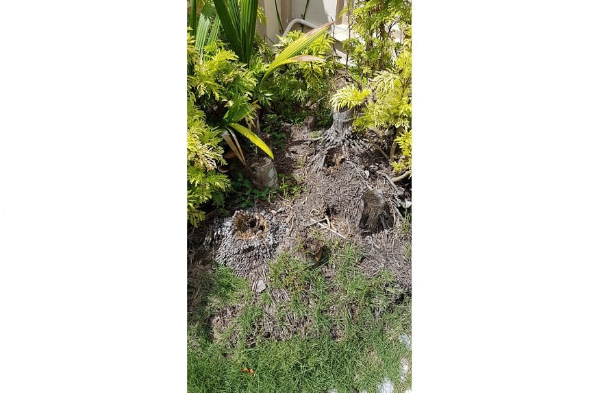 """How can I save the palm and """"sanitise"""" the soil (above) in my garden?"""